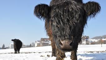 Nicht zimperlich: Die Galloway-Rinder fühlen sich wohl auf dem Hof des Uitiker Landwirts Walter Müller – vor allem wenn es so richtig kalt ist.