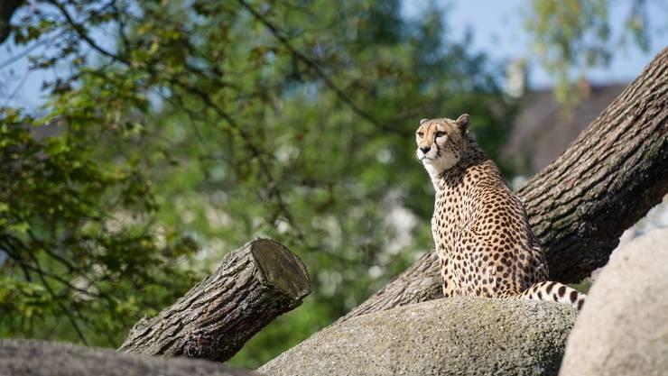 Zuoberst auf dem Felsen beim Etoschahaus sitzt ein Gepard und schaut in die Ferne.