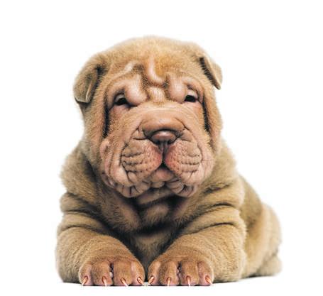 Knuffig soll das zerknautschte Gesicht aussehen. Doch die übermässige Faltenbildung sorgt für Pilzinfektionen und entzündet die Haut. Weil die Hunde die Lider nicht ganz schliessen können, entzünden sich die Augen.