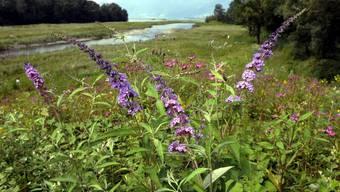 Im Bild die invasive Sommerfliederpflanze.