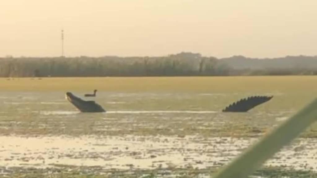 Riesen-Alligator schnappt sich Ente wie aus «Jurassic Park»