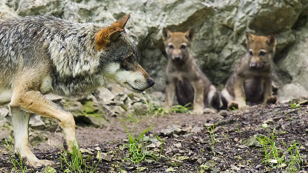 Keine Beschwerden gegen Wolfabschüsse