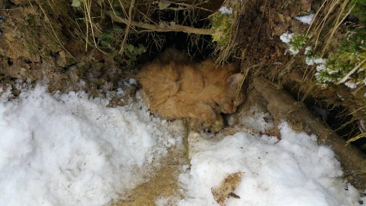 «Mingo» zog sich noch in den Fuchsbau zurück, bevor er verstarb.