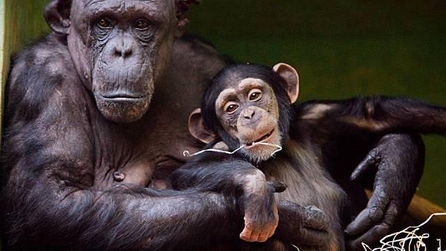 Schimpansen im Zürcher Zoo (Archiv)