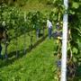 An den drei Läset-Tagen im Weinberg «Kibberg-Schlössli» waren auch dieses Jahr viele Helfer anwesend.