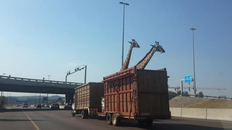 Ein Augenzeuge fotografierte die Giraffen im Anhänger