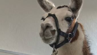 Lama-Ausreisserin Lima ist zurück zu Hause.