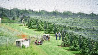 So kann der Einsatz von Pestiziden in der Landwirtschaft reduziert werden. Bauer Walter Stettler zeigt seine Kirschen-Plantage, die mit einem Netz geschützt ist.