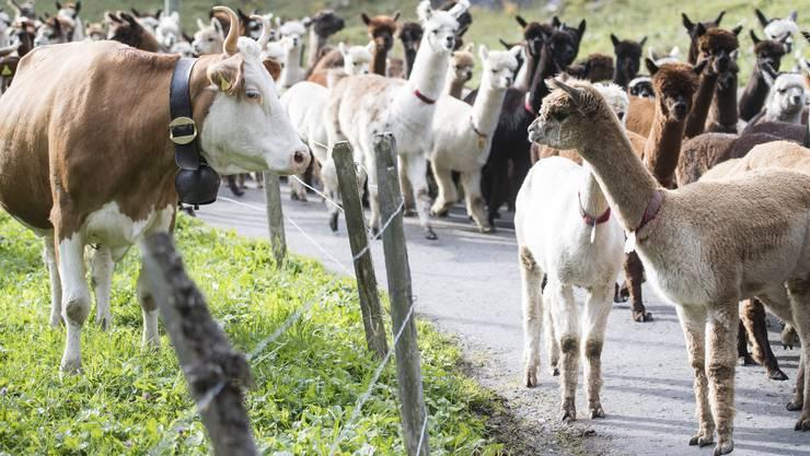 Begegnung der anderen Art: Kuh beschnuppert Lama. Oder umgekehrt.