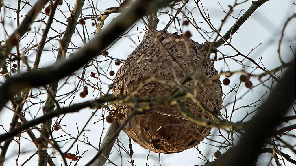 Verdrängen einheimische Arten: ein Nest von Asiatischen Hornissen in Nordspanien. (Archivbild)