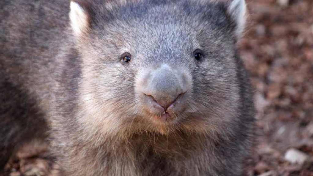 In Australien ist ein äusserst beliebter Wombat gestorben. (Symbolbild)