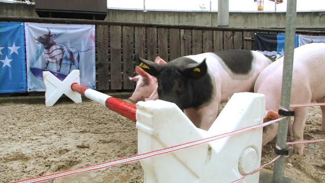Die richtige Vorbereitung: So werden aus Säuli Rennschweine