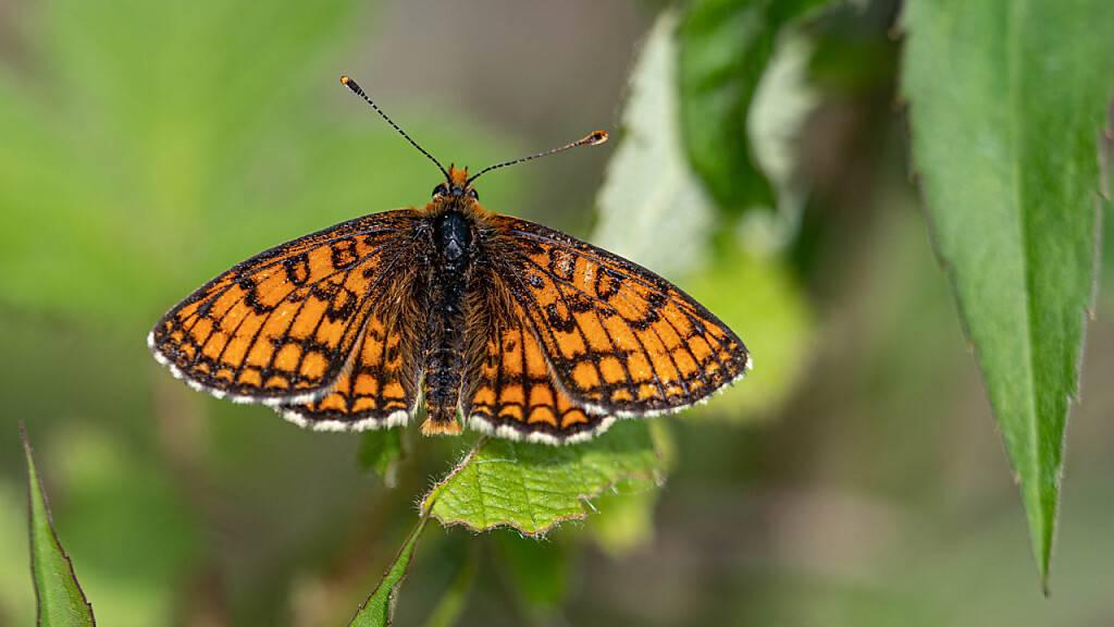 Viele Schweizer Schmetterlingsarten sind gefährdet. Ein Grund dürften Stickstoffeinträge in ihre Lebensräume sein. (Pressebild)