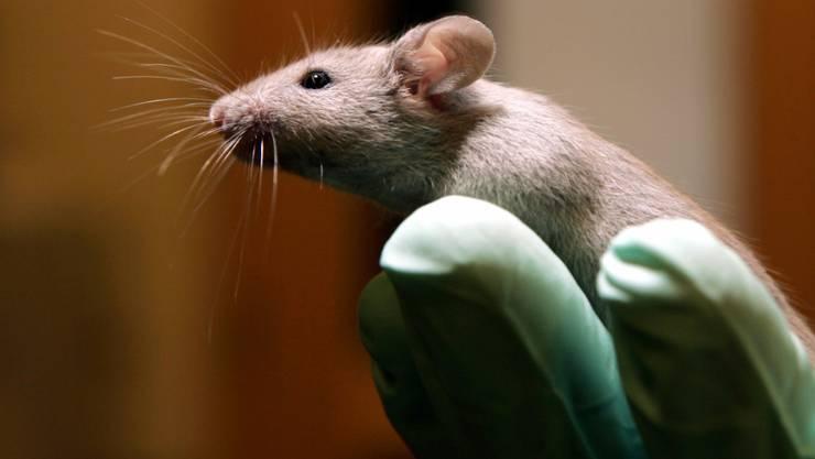 Erstarren oder flüchten? Forscher haben bei Mäusen den Hirnschalter gefunden, der zwischen diesen beiden Furchtreaktionen umschaltet. (Symbolbild)