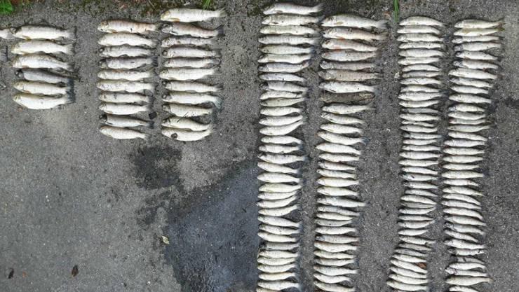 Die aus dem verschmutzten Gewässer geborgenen toten Fische