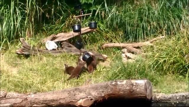 Otter spielen im Zoo Basel