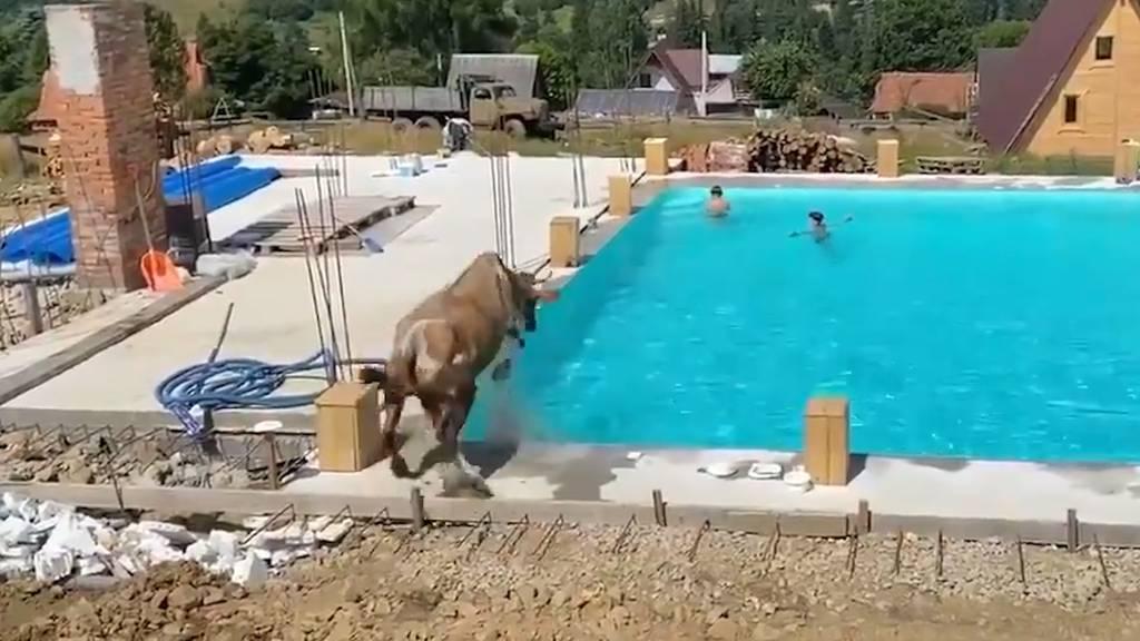 Hier hüpft eine Kuh in einen Swimmingpool