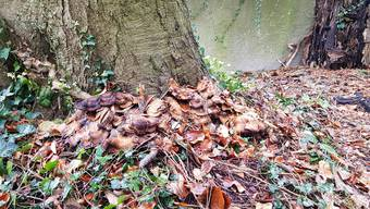 Riesenporling an der Stammbasis des Baums