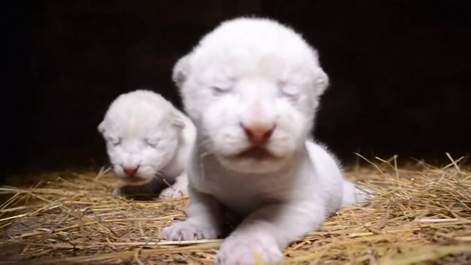 Wie süss: Neugeborene Weisse Löwenbabys