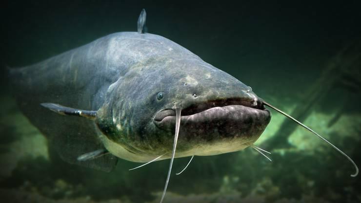 Der Wels ist der grösste Raubfisch in der Schweiz. Im Hallwilersee kommt er häufig vor.