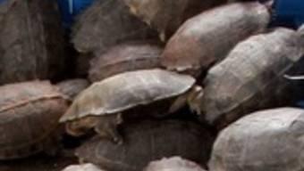Hätten im Topf landen sollen: 2200 Schildkröten (Symbolbild)
