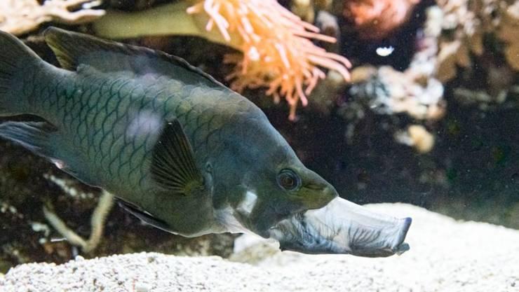Dieser Fisch hat eine grosse Klappe: Der Stülpmaullippfisch bereichert den Fischbestand im Vivarium des Basler Zollis.
