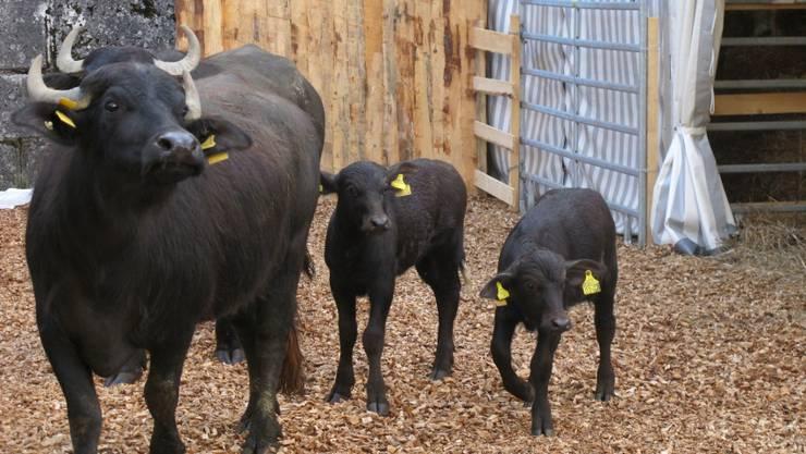 Zwei Kühe mit ihren Kälbern haben sich an die HESO-Atmosphäre im Schanzengraben gewöhnt.  zvg