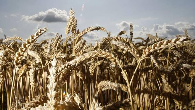 Bereits in zehn Jahren wird es an Getreide mangeln