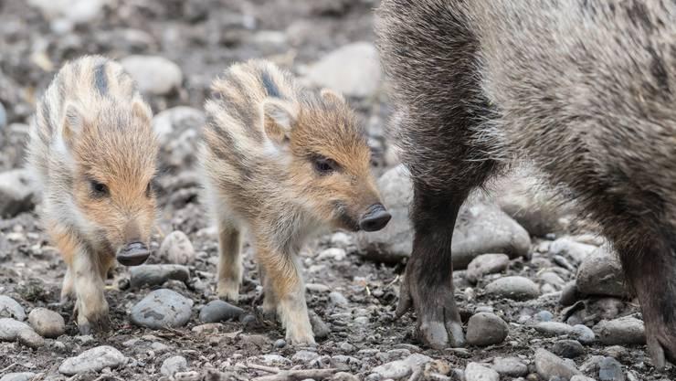 Der Zolli Basel hat die Wildschwein-Anlage neu eingerichtet.