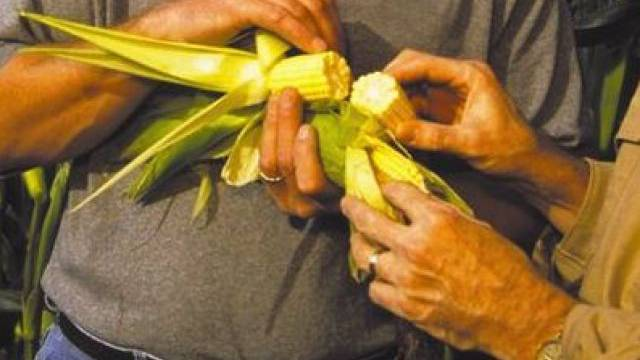 Farmer begutachten einen Maiskolben (Archiv)