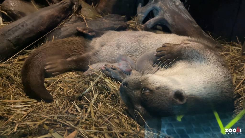 Drei Fischotterbabys im Zoo Zürich geboren
