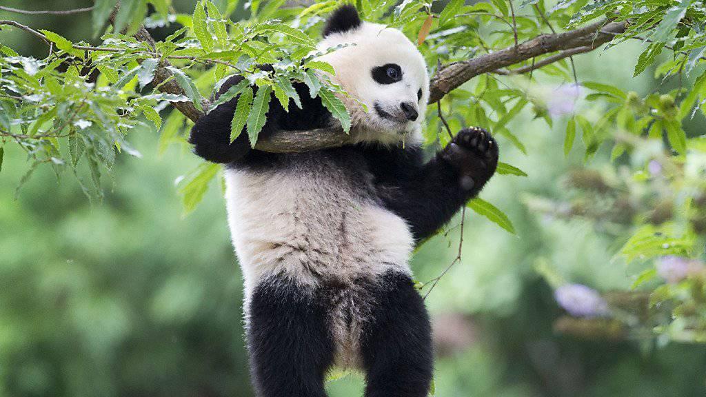 Sie sind einfach viel zu süss, diese Pandas!