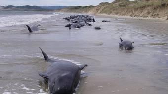 Gestrandete Wale vor australischer Küste (Symbolbild)