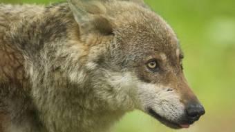 Ein Wolf in einem Zoo (Archiv)