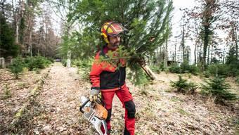 Der Leberberger Forstwart Manfred Leimer trägt einen geschnittenen Baum zum Sammelplatz.