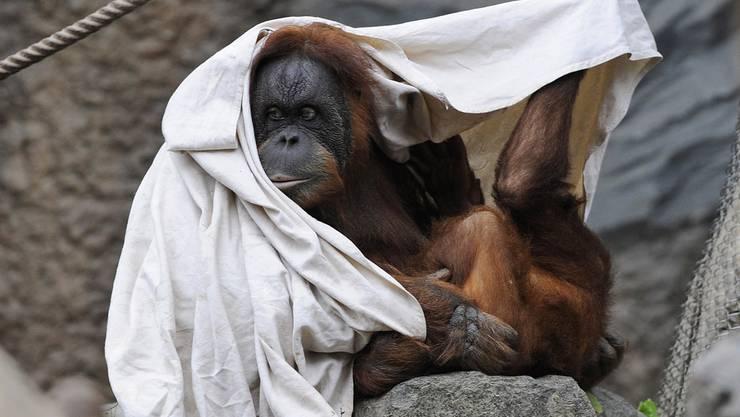 Nach 20 Jahren Gefangenschaft soll eine Orang-Utan-Dame aus Buenos Aires in die Freiheit entlassen werden. Ob dieser Orang-Utan aus dem Tierpark Hagenbeck in Hamburg auch davon träumt?