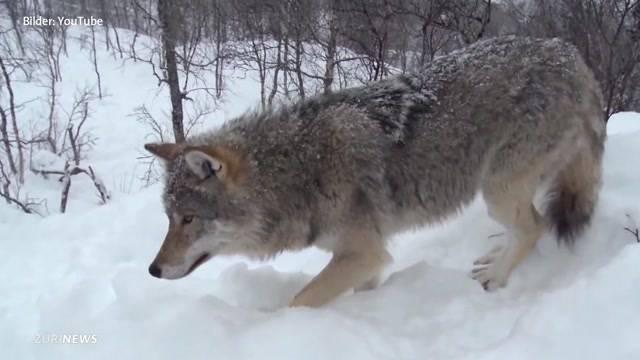 Wölfe bleiben geschützt