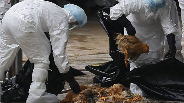 Notschlachtung von Hühnern in Hongkong am 21. Dezember