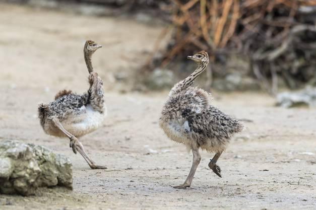 Die Eier wurden von den beiden Eltern sechs Wochen lang bebrütet.