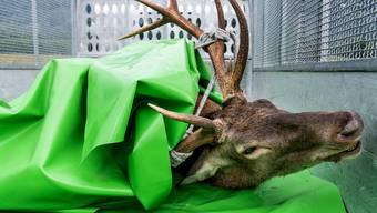Solange der Hirsch keine grösseren Schäden anrichtet, soll er nicht — wie dieses Tier – erlegt werden.