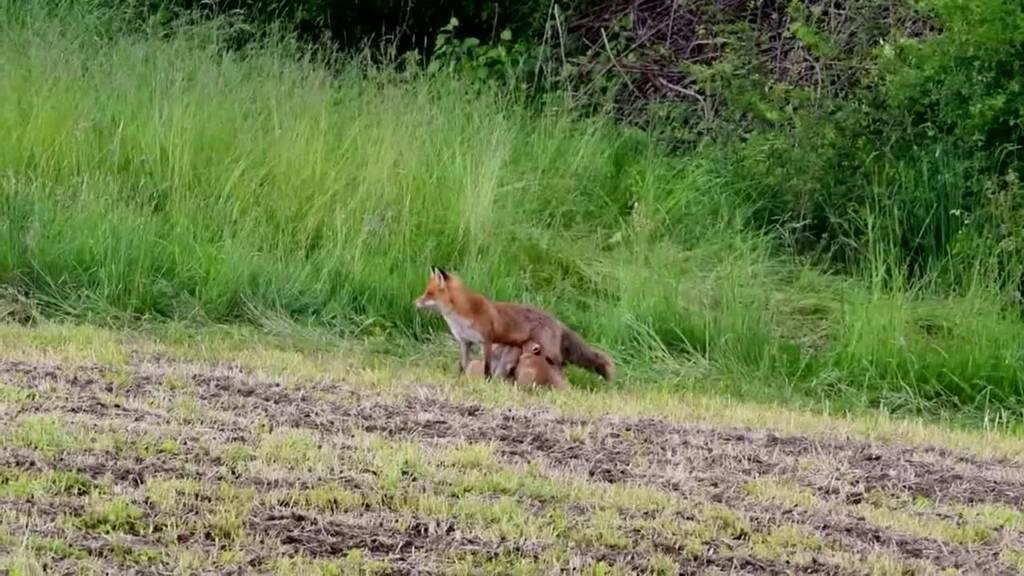 Rare Aufnahmen: Leser filmt Fuchsfamilie beim Spielen