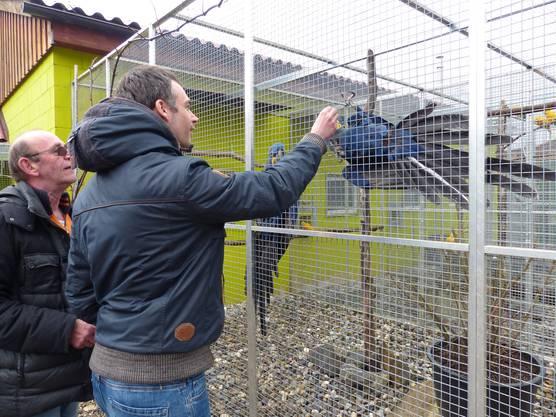 Vogelpark Ambigua in Zeihen startet in die vierte Saison: Gross und prachtvoll -der Hyazintenara.