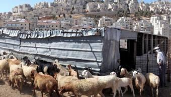 Ein Palästinenser kümmert sich um seine Schafe; im Hintergrund Har Homa
