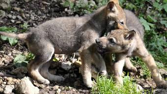 Den Wölfen in der Schweiz geht es an den Kragen: Die Umweltkommission des Ständerates möchte den Schutz stärker lockern als der Bundesrat.