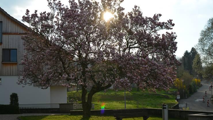 Kommt es in Urdorf per 2018 zu einem Steuerfuss-Abtausch? Die Forderung wird nicht zum ersten Mal gestellt (im Bild der Magnolien-Baum bei der alten reformierten Kirche Urdorf).