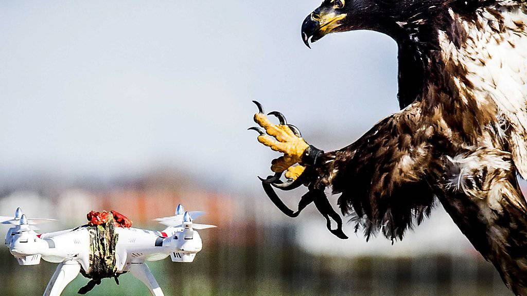 Adler, hier im März 2016 beim Training in Katwijk in den Niederlanden, können darauf abgerichtet werden, Drohnen abzufangen. (Archivbild)