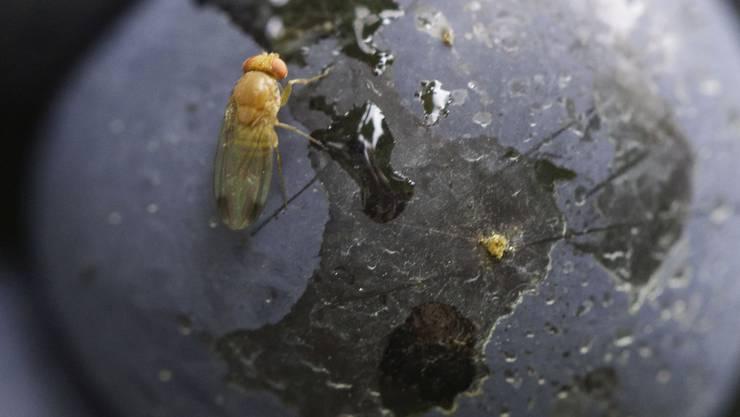Ein gefundenes Fressen: eine Fliege auf einer reifen Traube.