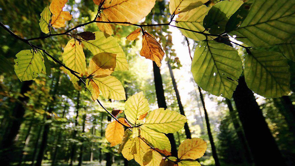 Die Herbstverfärbung der Blätter beginnt langsam. (Archivbild)