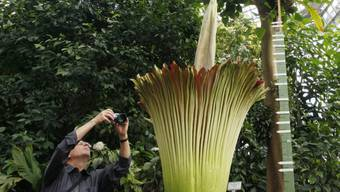 Ein Besucher fotografiert eine Titanwurz-Pflanze im Botanischen Garten Berlin-Dahlem (Archiv)