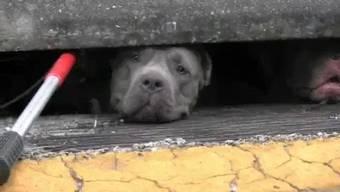 Zusammengekauert warten die Pitbulls auf ihre Rettung: Eine rührende Aktion am Rande des Highways.